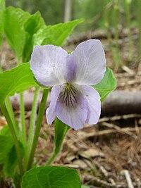 Viola mirabilis flower front 1 AB.jpg