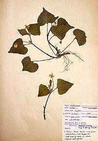 Viola pubescens var. pubescens BW-1966-0529-0966.jpg