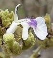 Vitex flower (8320462861).jpg