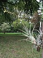 Vriesea pseudoligantha (TS) 2-03971.jpg