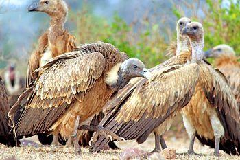 Vulture- The master of sky.jpg