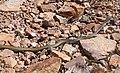 WHIPSNAKE, SONORAN (Masticophus taeniatus) (8-3-12) upper humboldt cyn, patagonia mts, scc, az -03 (7707436920).jpg