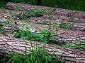 Wald Hanau gefällte Bäume Juni 2012.JPG