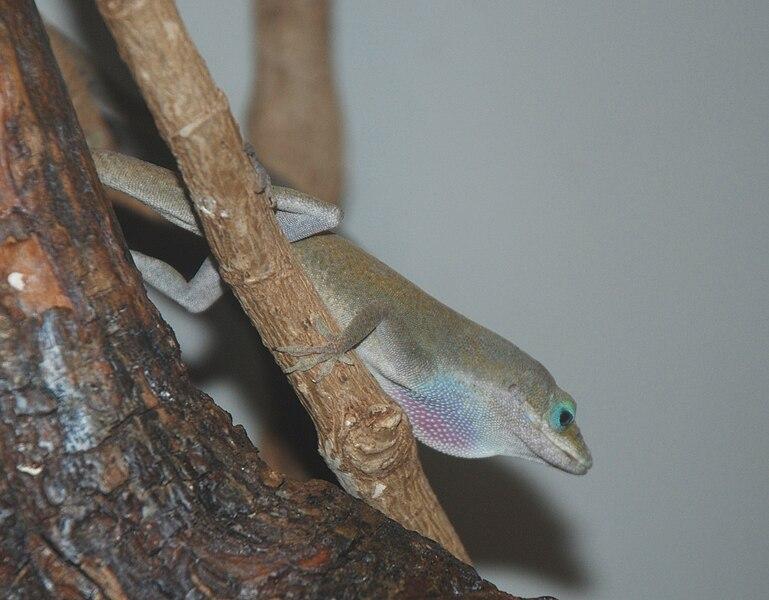 File:Washington DC Zoo - Anole 1.jpg