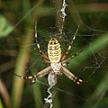 Wasp spider and lunch (14732317443).jpg