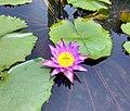 Water Lily - Purple.jpg