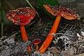 Waxcap (Hygrocybe sp.) - Kitchener, Ontario.jpg