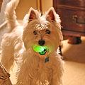 Wee Westie's Nuclear Ball.jpg