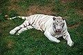 Weißer Tiger 03.jpg