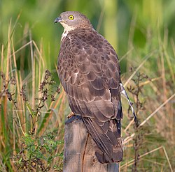 Wespenbussard European honey buzzard Pernis apivorus, crop.jpg