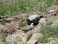 Wesselburenerkoog austernfischer vonseite.jpg