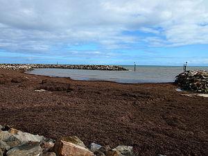 Wrack (seaweed) - Image: West Beach wrack
