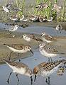 Western Sandpiper From The Crossley ID Guide Eastern Birds.jpg