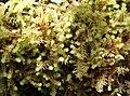 Wet Mosses (31659850715).jpg