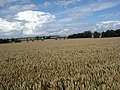 Wheatfield near Swinehead - geograph.org.uk - 497567.jpg