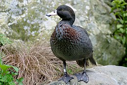 Whio (Blue Duck) at Staglands, Akatarawa, New Zealand.jpg