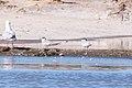 Whiskered Tern (Chlidonias hybrida) (8079598377).jpg