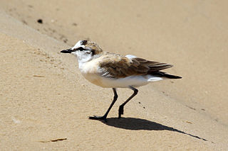 White-fronted plover Species of shorebird of the family Charadriidae from Sub-Saharan Africa and Madagascar