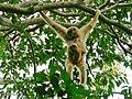 White-handed Gibbon (Hylobates lar) female with baby (7105681909).jpg