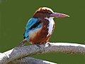 White-throated Kingfisher RWD.jpg