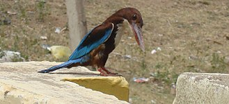 Coraciiformes - White throated kingfisher