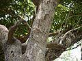 White-wooded Wallrothia (5597864608).jpg