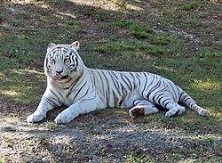 Schulprojekthallo Rohstoffweißer Tiger Wikiversity