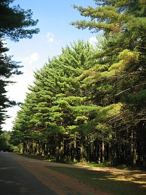 White Pines Forest State Park - A portion of the southernmost stand of native White Pines in Illinois.