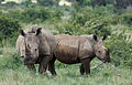 White rhinoceros or square-lipped rhinoceros, Ceratotherium simum. Note that in some of these photos there are a female with a calf, and a male that seems to have been challenging the calf. (17337958802).jpg