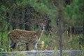 Whitetail fawn (4498311640).jpg