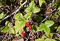 Wild Strawberries, Black Hill - geograph.org.uk - 889042.jpg