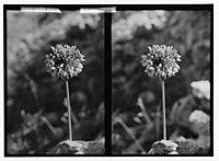 Wild flowers of Palestine. Wild pink onion (Allium trichocoleim Bornm.). LOC matpc.02393.jpg