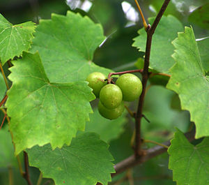 Vitis rotundifolia - The wild progenitor of the muscadine grape still grows freely in the southeastern United States, such as near Indiantown, South Carolina.