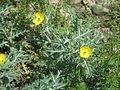 Wild yellow flower 2.JPG