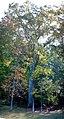 Willow oak pano (6275900461) (2).jpg