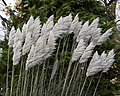 Wind blown pampas 2 (4103260807).jpg