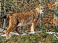 Winter im Wildpark Bad Mergentheim, Luchs.jpg