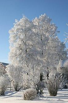 Rbol wikipedia la enciclopedia libre for Cuales son los arboles perennes