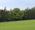 Winterlinde Gutenbrunn.png