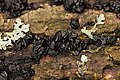 Witches' butter - Exidia nigricans - panoramio (9).jpg