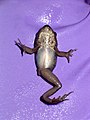 Wood frog with missing limb. (10820374665).jpg