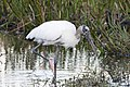 Wood stork II green cay dec (14289503372).jpg