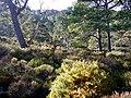 Woodland in Glen Strathfarrar. - geograph.org.uk - 1531619.jpg