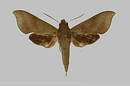 Xylophanes jamaicensis JH170 male up edi.jpg