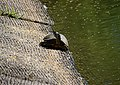 Yellow-bellied slider on pond edge.jpg