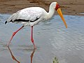 Yellow-billed Stork (Mycteria ibis) (6045310699).jpg