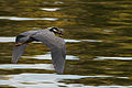 Yellow-crowned Night Heron 9907.jpg