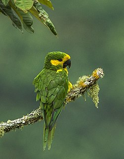 Yellow-eared Parrot.jpg