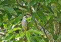 Yellow-vented Bulbul (Pycnonotus goiavier) (18736510602).jpg