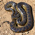 Yellow Anaconda (Eunectes notaeus) (48292404206).jpg